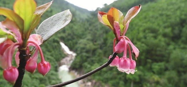 Hoa đào chuông Bà Nà