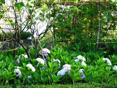 Vườn Cẩm Tú Cầu