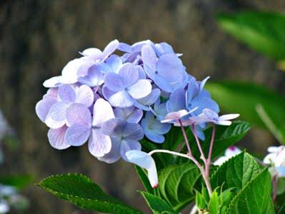 Cam Tu Cau mau xanh biec