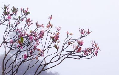 hoa đào chuông